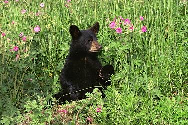 Black bear cub {Ursus americanus} USA, captive  -  Shattil & Rozinski/ npl