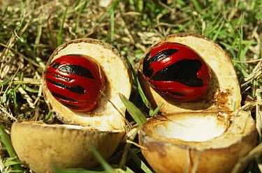 Wild Nutmeg fruit (Myristica fragrans) the dark Nutmeg is surrounded by Mace; Ambon, Indonesia  -  Willem Kolvoort/ npl