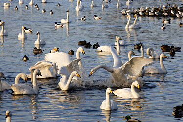 Whooper swans fighting (Cygnus cygnus) amongst other waterfowl, Martin mere WWT reserve, Lancashire, UK  -  Jason Smalley/ npl