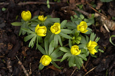 Winter aconite (Eranthis hyemalis) Cumbria, UK  -  Jason Smalley/ npl