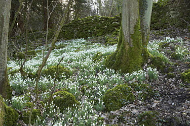 Snowdrops (Galanthus nivalis) in spring woodland, UK  -  Jason Smalley/ npl