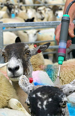 Treating sheep (Ovis aries) against Blowfly with insecticide, high-cis cypermethrin Salt marsh sheep, Cumbria, UK  -  Jason Smalley/ npl