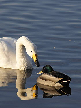 Whooper swan (Cygnus cygnus) looking at male Mallard (Anas platyrhynchos), Martin Mere WWT, UK  -  Jason Smalley/ npl