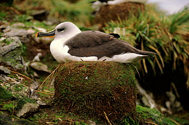 Grey headed albatross (Thalassarche chrysostoma) on nest, Bird Island, South Georgia, October  -  Peter Bassett/ npl