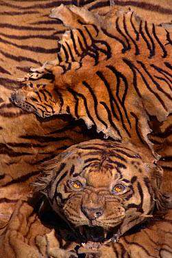 Fake Tiger skin made from Dog skin painted with stripes lies over real Tiger skin, India  -  Vivek Menon/ npl