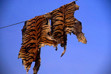 Fake tiger skins made from Dog skins painted with stripes hang on line to dry, India  -  Vivek Menon/ npl