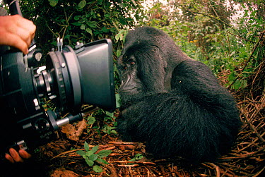 Mountain gorilla inspects film camera, DR Congo (formerly Zaire), Central Africa  -  Jabruson/ npl