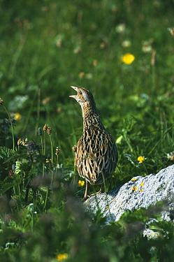 Corncrake calling, machair, South Uist, Scotland (Crex crex) Endangered species  -  Martin H Smith/ npl