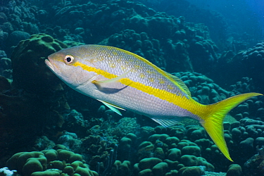 Yellowtail snapper (Ocyurus chrysurus) Caribbean photographed during making of BBC Planet Earth series 2005  -  Peter Scoones/ npl