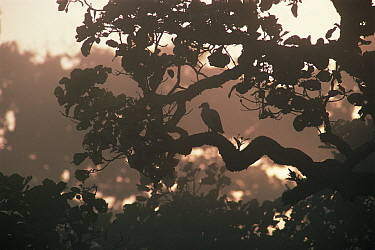 Misty rainforest with Palm nut vulture (Gypohierax angolensis) sitting in branches, Democratic Republic of Congo, Central Africa  -  Jabruson/ npl