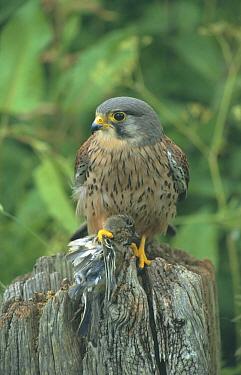 Kestrel male (Falco tinnunculus) with Chaffinch prey (Fringilla coelebs) UK  -  Martin H Smith/ npl