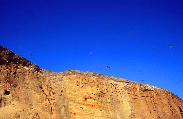 Sand martins flying above cliffs with nest holes (Riparia riparia) Norfolk, UK  -  Martin H Smith/ npl