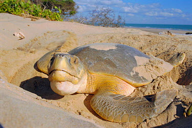 Flat backed turtle (Chelonia depressa) digging nest on beach, Crab Is, QLD, Australia Cape  -  Ben Osborne/ npl