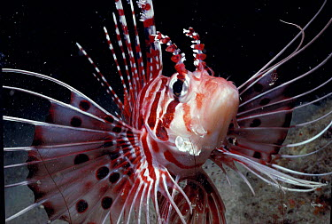 Spotfin lionfish (Pterois antennata) Borneo Sipadan Is  -  Jeff Rotman/ npl