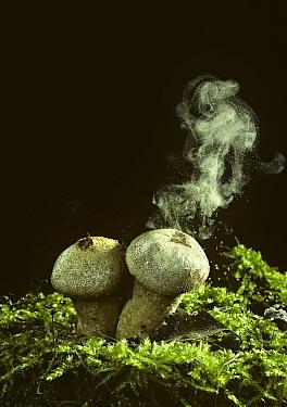 Common puffball discharging spores (Lycoperdon gemmatum) UK  -  Adrian Davies/ npl