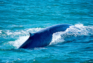 Blue whale at surface showing long back and small dorsal fin (Balaenoptera musculus) Iceland  -  Tom Walmsley/ npl