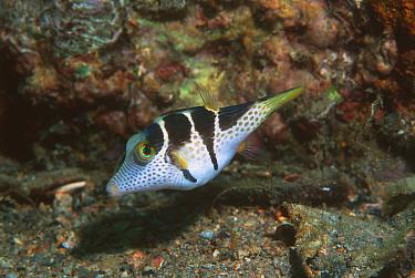 Valentines sharpnose pufferfish (Canthigaster valentini) toxic Papua New Guinea  -  Georgette Douwma/ npl