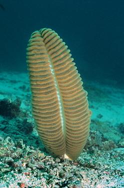 Sea pen (Pteroeides sp) Sangalaki, Indonesia  -  Georgette Douwma/ npl