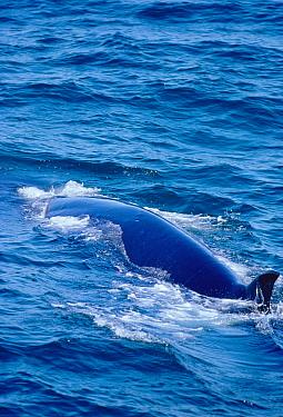 Sei whale surfacing showing small dorsal fin (Balaenoptera borealis) Iceland  -  Tom Walmsley/ npl