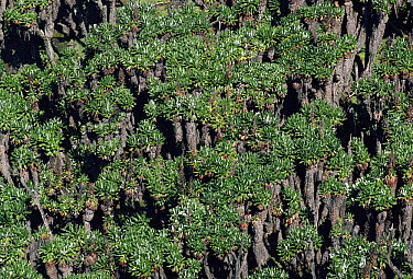 Giant groundsel (Senecio keniensis) growing at 4220 metres, Lac Vert, Mountains of the Moon, Virunga NP, Dem Rep of Congo  -  Jabruson/ npl