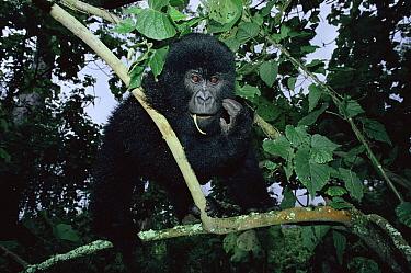 Mountain gorilla young in tree (Gorilla gorilla beringei) Virunga NP, Dem Rep of Congo  -  Jabruson/ npl