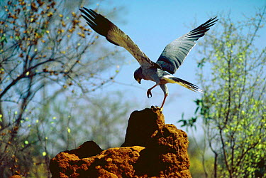 Pale chanting goshawk (Melierax canorus) predating Dwarf mongoose (Helogale parvula) in termite mound Tsavo East NP, Kenya  -  Jabruson/ npl