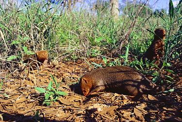 Dwarf mongooses (Helogale parvula) foraging Tsavo East NP, Kenya  -  Jabruson/ npl
