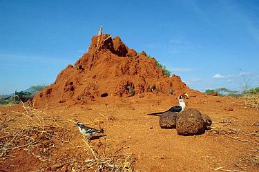 Dwarf mongoose (Helogale parvula) group inhabit termite mound, male Von der Deckens hornbill (Tockus deckeni) waits for mongooses to leave mound Tsavo East NP, Kenya  -  Jabruson/ npl