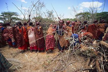 Maasai traditional ceremony, Kedong Valley, Rift valley, Kenya Women build ritual houses in E-unoto ceremony 1985  -  Jabruson/ npl