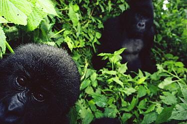 Young Mountain gorilla (Gorilla gorilla beringei) peers into camera, Virunga NP, Dem Rep of Congo Silverback Rugabo in background was killed by militia roaming the park during the Rwandan refugee cris...  -  Jabruson/ npl