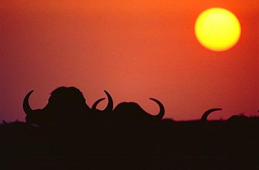 African buffalo horns silhouetted at dawn (Synercus caffer) Tsavo East NP, Kenya  -  Jabruson/ npl
