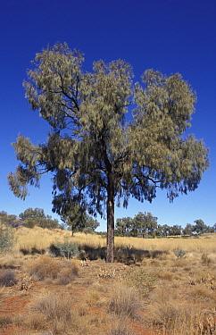 Desert oak tree (Casuarina descaisneana) Simpson desert, Northern Territory, Australia  -  William Osborn/ npl