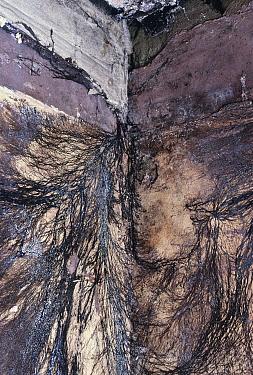 Dry rot fungal mycelia in wall of building (Serpula lacrymans) Sussex, UK  -  George Mccarthy/ npl