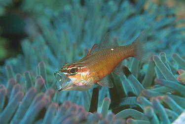 Moluccan cardinalfish in anemone, mouth open (Apogon moluccensis) Sulawesi  -  Georgette Douwma/ npl