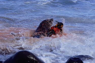 Antarctic fur seal killing King penguin, Marion Island, sub-antarctica (Arctocephalus gazella) (Taken on location for BBC Planet Earth Shallow Seas 2005)  -  Ian Mccarthy/ npl