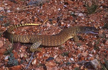 Sand monitor lizard (Varanus gouldii flavirufus) South Australia  -  Robert Valentic/ npl