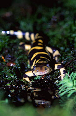 Tiger salamander (Ambystoma tigrinum), native to North America  -  William Osborn/ npl