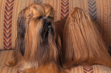 Domestic dog, Lhasa Apso with plaited hair looking back  -  Adriano Bacchella/ npl