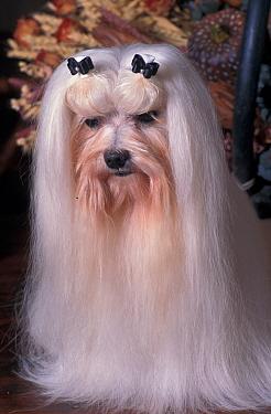 Domestic dog, Maltese dog with bows in hair  -  Adriano Bacchella/ npl