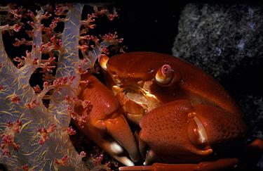Convex Rock crab (Carpilius convexus) on Alcyonarian coral at night, Red Sea  -  Jeff Rotman/ npl