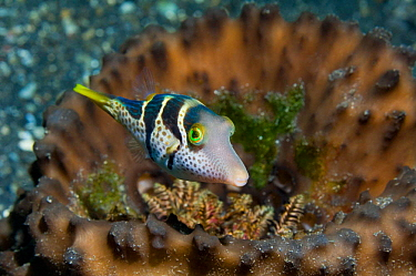 Black-saddled puffer, Valentine's sharpnose pufferfish (Canthigaster valentini) with Seasquirts (Polycarpa aurata) Lembeh Strait, North Sulawesi, Indonesia  -  Georgette Douwma/ npl