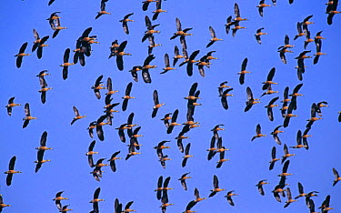 Flock of Indian Whistling teal in flight (Dendrocygna javanica) Assam, India  -  Elio Della Ferrera/ npl