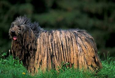 Domestic dog, Bergamasco standing up, 'flocks' visible  -  Adriano Bacchella/ npl