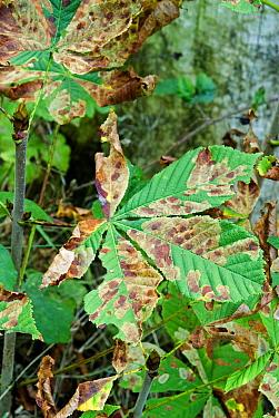 Horse Chestnut leaves (Aesculus hippocastanum) infected with Leaf Miner Moth (Cameraria ohridella) Surrey, UK, 2006  -  Adrian Davies/ npl