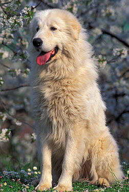 Domestic dog, Maremma Sheepdog portrait  -  Adriano Bacchella/ npl