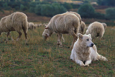 Domestic dog, Maremma Sheepdog watching over flock of sheep  -  Adriano Bacchella/ npl
