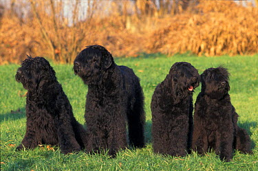 Domestic dogs, Russian Black Terriers including juveniles  -  Adriano Bacchella/ npl
