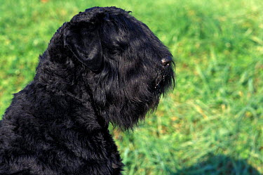 Domestic dog, Russian Black Terrier profile  -  Adriano Bacchella/ npl