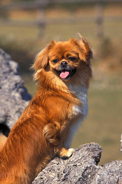 Domestic dog, Tibetan Spaniel looking back  -  Adriano Bacchella/ npl