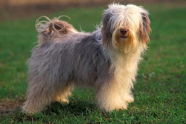 Domestic dog, Tibetan Terrier standing on grass  -  Adriano Bacchella/ npl